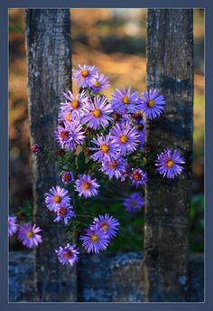 Бабье лето... Цветут сентябринки...
