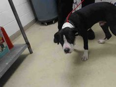 This DOG - ID#A468695 - URGENT - Harris County Animal Shelter in Houston, Texas - ADOPT OR FOSTER - 1 year old Male Pit Bull Terrier - at the shelter since Sep 20, 2016.