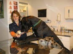 3º LUGAR : DOGUE ALEMÃO O maior cão do mundo é um representante dessa raça, Gibson é um DOGUE ALEMÃO que mede 107 cm de altura. Mas a média de altura dessa raça é de 81,3 cm. Criada com a finalidade para caçar javalis, essa raça possui uma força muito grande. Seu representante mais famoso é o Scobby-Doo