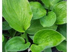 Hosta Abiqua Ground Cover