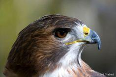 red-tailed_hawk - ID: 6161584 © Jeff  Grabert