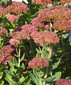 Sedum - Ground Covers - 7 Popular Varieties to Enhance Any Yard - Bob Vila Lush Garden, Lawn And Garden, Green Garden, Boarder Plants, Sedum Ground Cover, Sedum Plant, August Flowers, Drought Tolerant Garden, Cool Plants