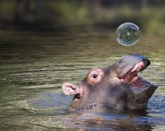 I just love the bubble! Don't know how the little one made it, but it sets him/her off beautifully!  10+ Baby Hippos That Will Make Everything Better