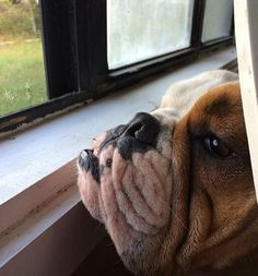 """On the watch for daddy to come home"" ~ our fur babies have the best internal clocks ! ❤ Posted on Baggy Bulldog"
