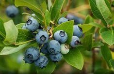Ne vásárolj többet drága áfonyát a piacról. Ültess helyette a kertbe, mondjuk hogy fogj hozzá! Medicinal Plants, Aquaponics, Vegetable Garden, Bonsai, Gardening Tips, Fall Decor, Orchids, Blueberry, Home And Garden