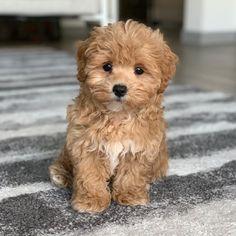 Super Cute Puppies, Cute Baby Dogs, Cute Dogs And Puppies, Baby Puppies, Cute Baby Animals, Doggies, Farm Animals, Maltipoo Puppies For Sale, Maltipoo Dog