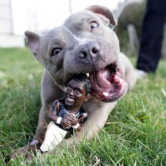 Oh, don't mind me, just destroying this Michael Vick toy. This cutie is from Smilin' Pit Bull Rescue. Follow them on facebook for more pittie cuteness!