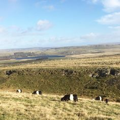 More blue sky Belted Galloways and to the left Malham Tarn the highest freshwater lake in England #malham #malhamdale #malhamtarn #yorkshiredales #farm #farmlife #beltedgalloways #cattle #cows #view #landscape #lake #beltedgalloways #belties by hilltopfarmgirl