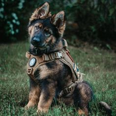 All About The Smart German Shepherd Dog Exercise Needs German Shepherd Photos, German Shepherd Puppies, German Shepherds, Doberman Shepherd, Dog Vest, War Dogs, Military Dogs, Schaefer, Cute Dogs And Puppies