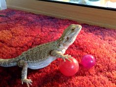 Bearded Dragon Toys: Bearded Dragon Toys