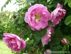 Rosa 'Poppius' Perinneruusuihin luettava 'Poppius' on valittu FinE-kasviksi. Ruotsissa 1850-luvulla jalostettu suviruusu on nimetty suomalaisen valtioneuvos Gabriel Poppiuksen mukaan. Suviruusu alkaa kukkia noin viikkoa myöhemmin kuin juhannusruusu, lisäksi se on hieman vaativampi kasvupaikan suhteen. Isohko punaruskea- ja kaarevaversoinen pensas kasvattaa paljon juurivesoja. Lehdistö: Hierottaessa pihkamaisesti tuoksuvat, isohkot, syksyllä oranssinkeltaiset lehdet. Kukinta: Kesä–heinäkuun…