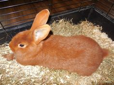beautiful, soft, red new-zealander rabbit (named: Yuna New Zealand Rabbits, Rabbit Names, Animals Beautiful, Baby Animals, Bunnies, Pets, Board, Cutest Animals, Baby Pets