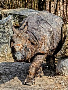 Indian Rhino by 1982Chris911
