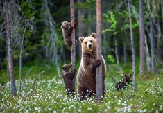She-bear and cubs. Brown bear cubs climbs a tree. Natural habitat. In Summer forest. Scientific name: Ursus arctos.