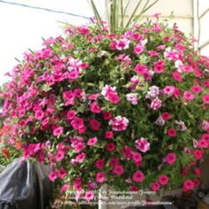 How to create and maintain huge hanging baskets.