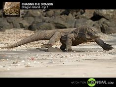 Making a nature video series about Komodo dragons is risky business! The crew arrives well equipped – they've got the right gear, the right attitude and lots of experience filming some of the world's most dangerous animals … but nothing can really prepare them for coming face to face with the largest venomous lizard on earth.