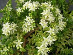 Sedum pulvinatum (Live Forever) is a relatively small, bushy succulent plant with woody stems up to 12 inches (30 cm) tall. The leaves are...