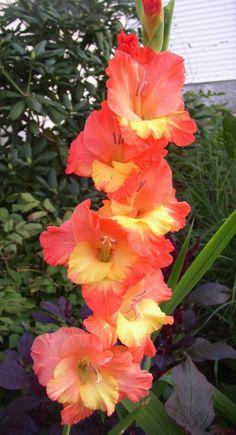 Garden Flowers - Annuals Or Perennials Gladiolus 'Apricot Dream' Gladiolus Summer Flowers, Beautiful Flowers, Gladiolus Flower, Gladiolus Tattoo, Line Flower, Flower Images, Day Lilies, Flower Delivery, Trees To Plant