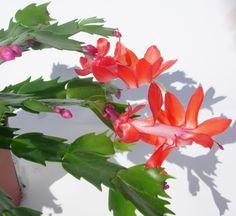 Flores de cactus para la Navidad  En los últimos meses del año, algunos cactus se llenan de flores magentas, rojas, rosadas, asalmonadas, incluso blancas. Son los llamados cactus de Navidad, plantas crasas que si en su Brasil natal florecen a partir de mayo, aquí lo hacen de noviembre a marzo al obligado abrigo de un interior luminoso, cálido y húmedo. Son la Planta Protagonista de noviembre. https://www.jardineriakuka.com/cactaceas/1800-rhipsalis.html