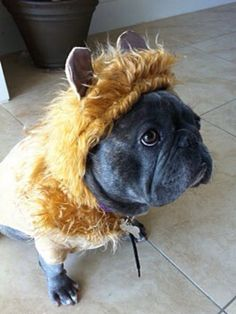 """I'm the Cowardly Lion"", French Bulldog in Halloween Costume."