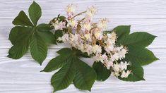 Jírovec maďal neboli kaštan koňský je nejen rozšířený okrasný strom, ale také užitečná léčivka. Obsahuje látky, které mají pozitivní účinek na žilní…