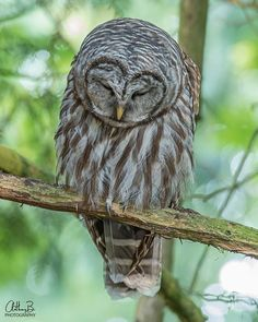 A sleepy Barred Owl in Langley, British Columbia, Canada thanks to A.Bucci Photography