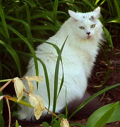 White Maine Coon - メインクーン - Wikipedia