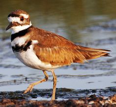 Killdeer - a medium-sized plover. The adults have a brown back and wings, a white belly, and a white breast with two black bands. The rump is tawny orange. The face and cap are brown with a white forehead. The eye ring is orange-red.
