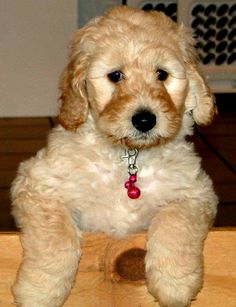 Labradoodle :) I want to get one of these puppies