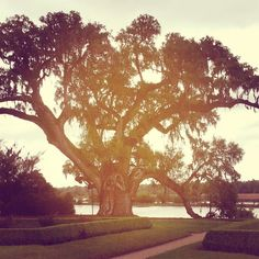 The Middleton #Oak has a circumference of some 34 feet and limb spread of 131 feet! Nobody knows exactly how old it is but it is perhaps a 1000 years old. #charleston #antebellum #southcarolina #plantation #francaisauxusa #middletonplace #middletonplantation #middleton #tree #majestictree #oldtree
