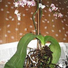 Záchrana orchideje (svraštělé listy, usychání květů, opadávání poupat, hnijící kořeny)
