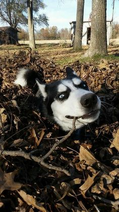 Wonderful All About The Siberian Husky Ideas. Prodigious All About The Siberian Husky Ideas. Husky Mix, Husky Puppy, Siberian Husky Funny, Siberian Huskies, Funny Husky, Alaskan Husky, Alaskan Malamute, Snow Dogs, Dog Travel