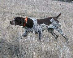 german short hair dog breeder, dog breeding, south dakota, dog trainer, dog kennel, dog kennels, SD, clover leaf pheasant pheasant farms, russell nelson