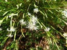 Dianthus arenarius-hvozdík,karafiát