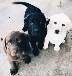 Mind Blowing Facts About Labrador Retrievers And Ideas. Amazing Facts About Labrador Retrievers And Ideas. Cute Dogs And Puppies, I Love Dogs, Doggies, Black Lab Puppies, Cutest Dogs, Adorable Puppies, Cute Baby Animals, Funny Animals, Tier Fotos