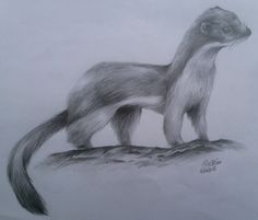 weasel drawing - Google Search