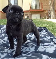 I absolutely need a Bugg Puppy #willhaveone #adorable