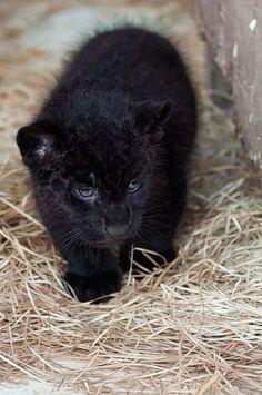 https://flic.kr/p/ZPV2L2 | Baby Animals  : Black Jaguar Cub by Jeremy Cozannet... | Baby Animals  : Black Jaguar Cub by Jeremy Cozannet... photographymag.tn/animals/baby-animals/baby-animals-black...  #Baby