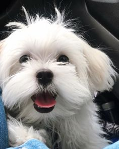Hello again! Cute Baby Dogs, Cute Babies, French Poodles, Malteser, Madness, Cute Animals, Pets, Pretty Cakes, Nail Manicure