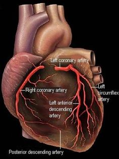 The coronary arteries supply oxygenated blood to the heart. Coronary artery disease develops when these arteries become clogged with plaque. Nursing Tips, Nursing Notes, Cath Lab Nurse, Arteries Anatomy, Heart Anatomy, Wrist Anatomy, Anatomy Art, Cardiac Nursing, Human Anatomy And Physiology