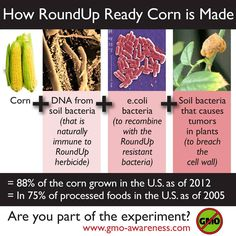 how round up ready corn is made