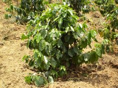 This may sound like a crazy idea, but indeed you can grow your own coffee tree in your backyard. We all know how coffee is processed: first the farmers pick the cherries, take the beans out of the cherries, wash … read Happy Dhanteras Wishes, Herbal Plants, Mindanao, Tree Seeds, Edible Garden, All Plants, Sounds Like, Image House, Alter