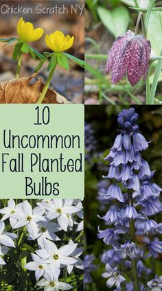 10 Uncommon Bulbs to Plant in the Fall | Chicken Scratch NY
