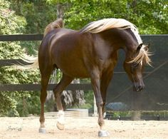 Simeon Sehavi :: gorgeous Chestnut Arabian mare - National Champion Australia Dubai Arabian Horse Stud