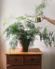 What monsoon can really do for my plants? These days I am so lazy to water my plants, so I just let most of them shower in the rain and… Inside Plants, Ivy Plants, Foliage Plants, Water Plants, Green Plants, Tropical Plants, Potted Plants, Indoor Plants, Indoor Ferns