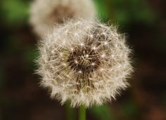 #30 - Pick Bunches of Dandelions and Blow Them Out (Making Wishes!)