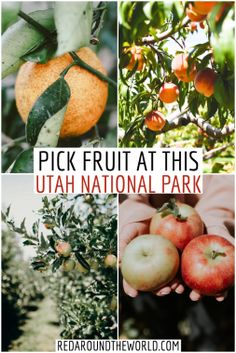 The orchards at Capitol Reef National Park are fun for couples. It's a great option for families visiting Capitol Reef as well. Utah road trip, utah things to do, utah national parks, utah national parks road trip, capitol reef utah, capitol reef orchards, capitol reef national park things to do, capitol reef national park, utah travel, utah vacation, utah things to do, capitol reef things to do, orchards in utah, apple picking in utah