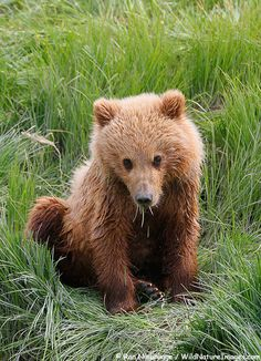 Brown Bear Cub, Lake Clark National Park, Alaska.