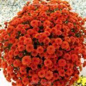 Ashley Chrysanthemum Garden Mum Decorative Mum C X Morifolium Garden Mum Chrysanthemum Plants