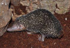 Setifer setosus (bodlín ježkovitý, Tenrecinae, Tenrecidae)
